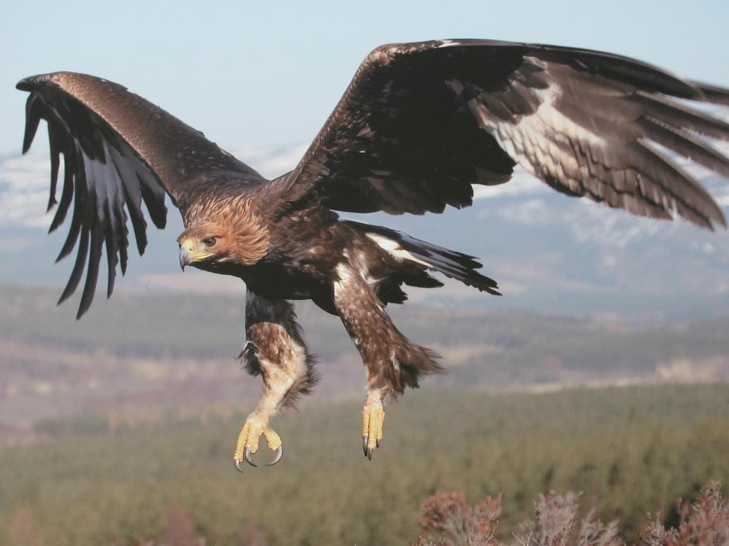 Wonderful Wallpaper Horse Eagle - golden-eagle  Picture_52616.jpg