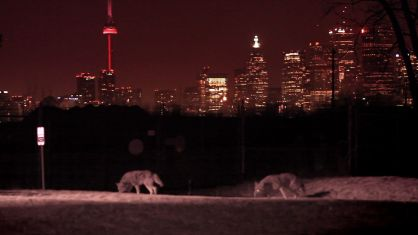 16.Cherry-Beach-coywolves-w-city-skyline