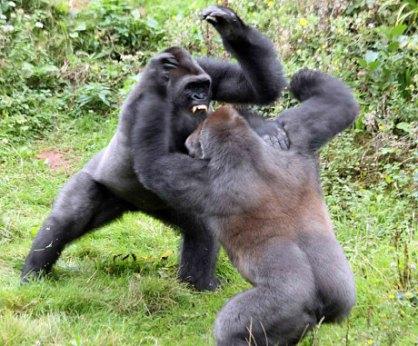 Gorilla2_3061115c